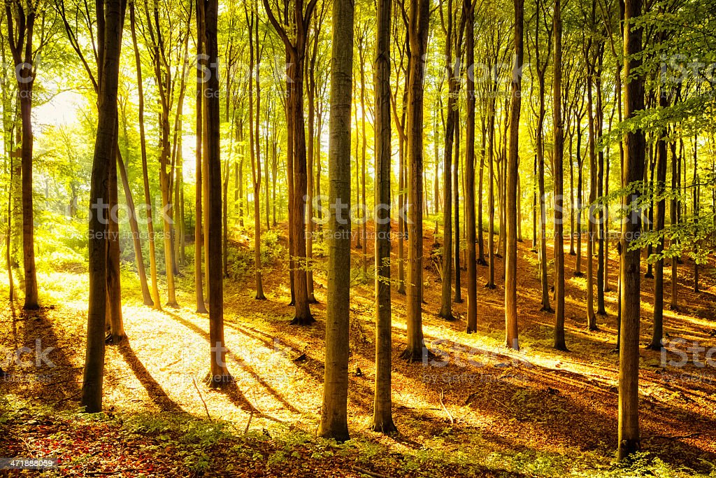 Autumnal Forest royalty-free stock photo