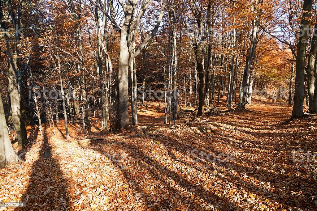 autumnal hardwood forest - european beechs (fagus sylvatica) stock photo