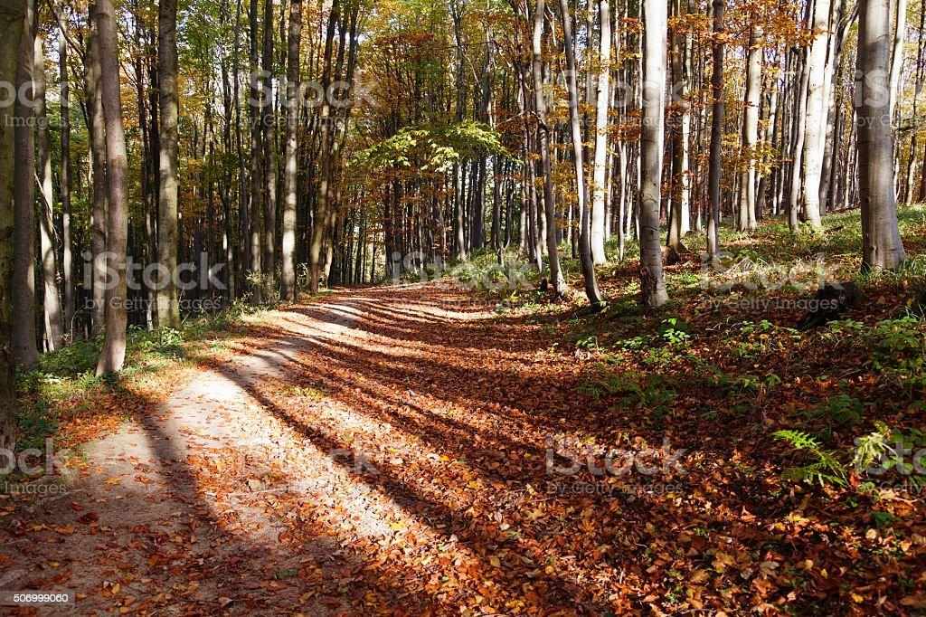 autumnal hardwood forest - european beechs (fagus sylvatica) stock photo