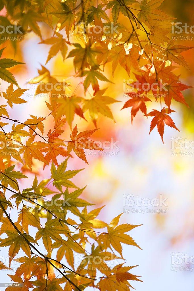 Autumnal Japanese Maple Leaves royalty-free stock photo