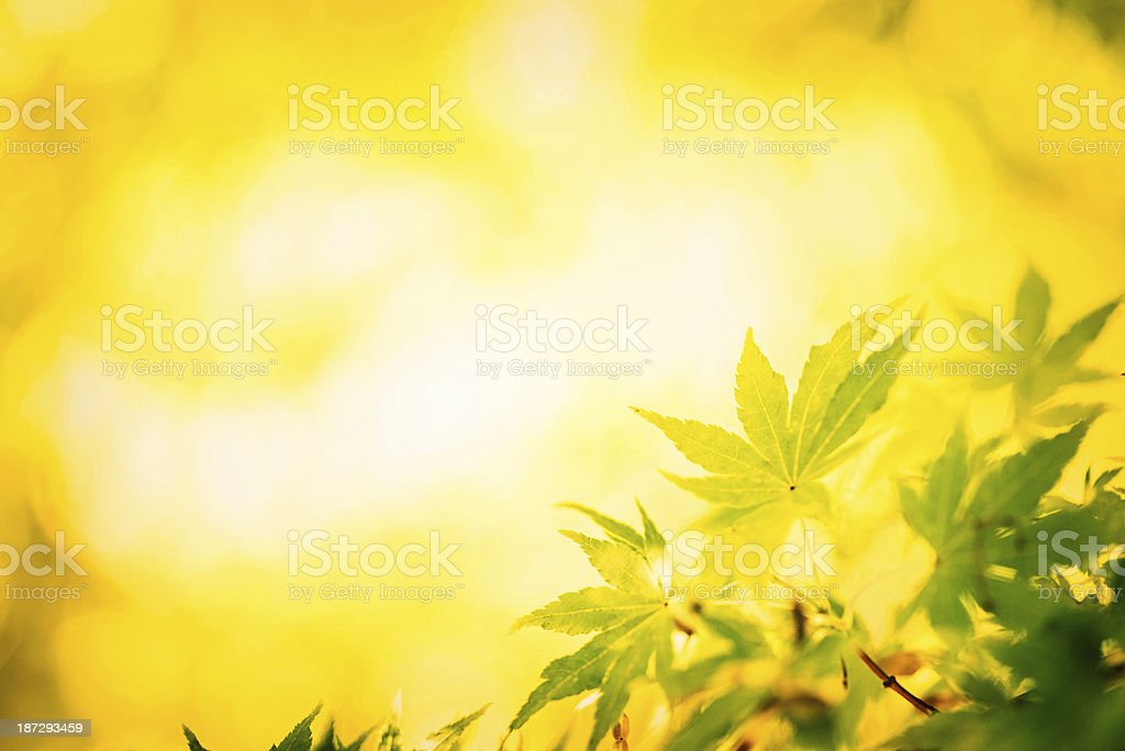 Autumnal Japanese Maple Leaves royalty-free stock photo