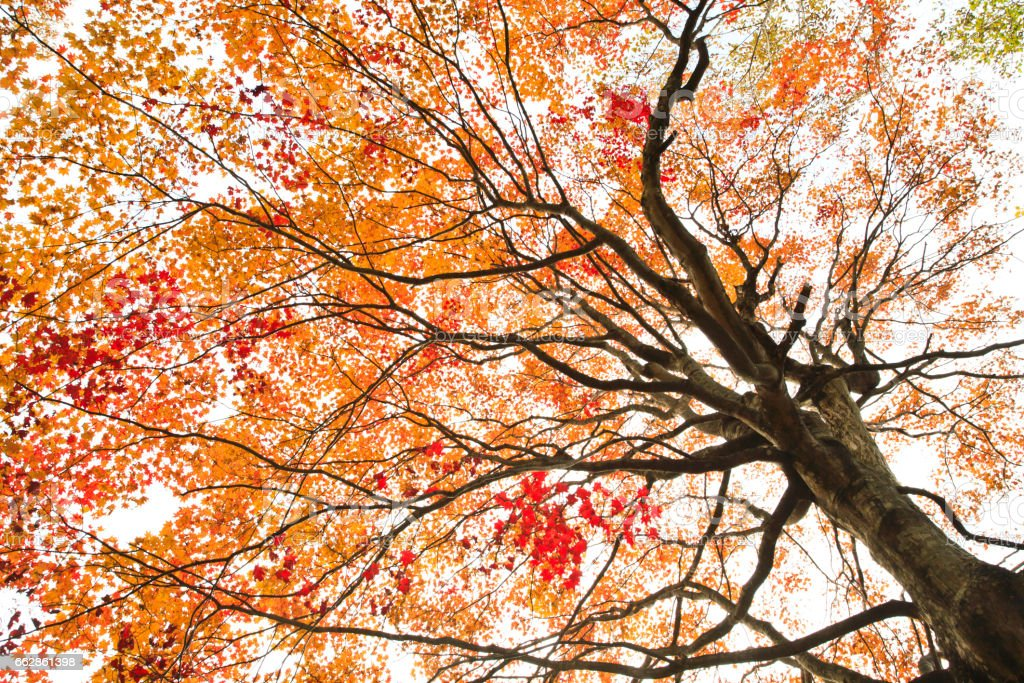 Autumnal Japanese Maple Tree in the Morning stock photo