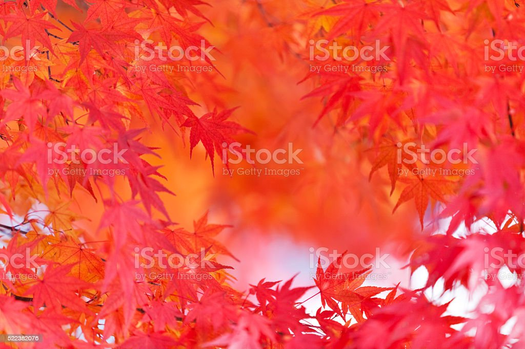 Autumnal Japanese Red and Orange Maple Leaves in the forest stock photo