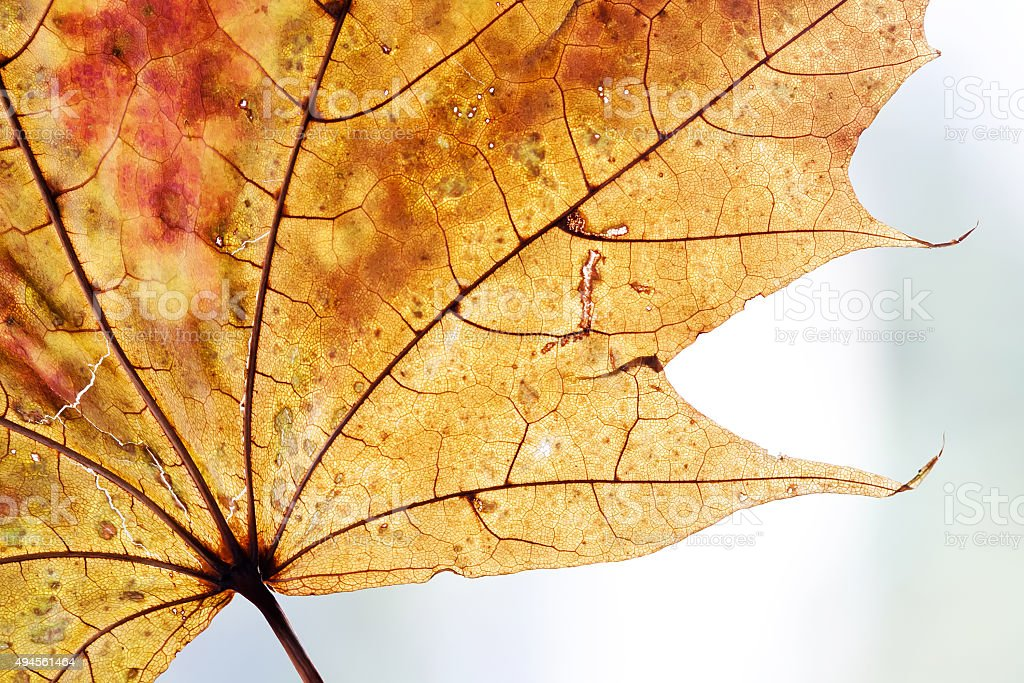 Autumnal leaf design background. Yellow, orange, brown color. transparent maple stock photo
