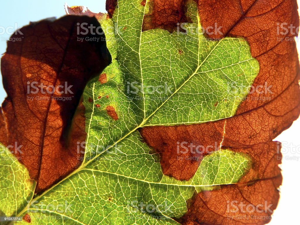 Autumnal leaf royalty-free stock photo