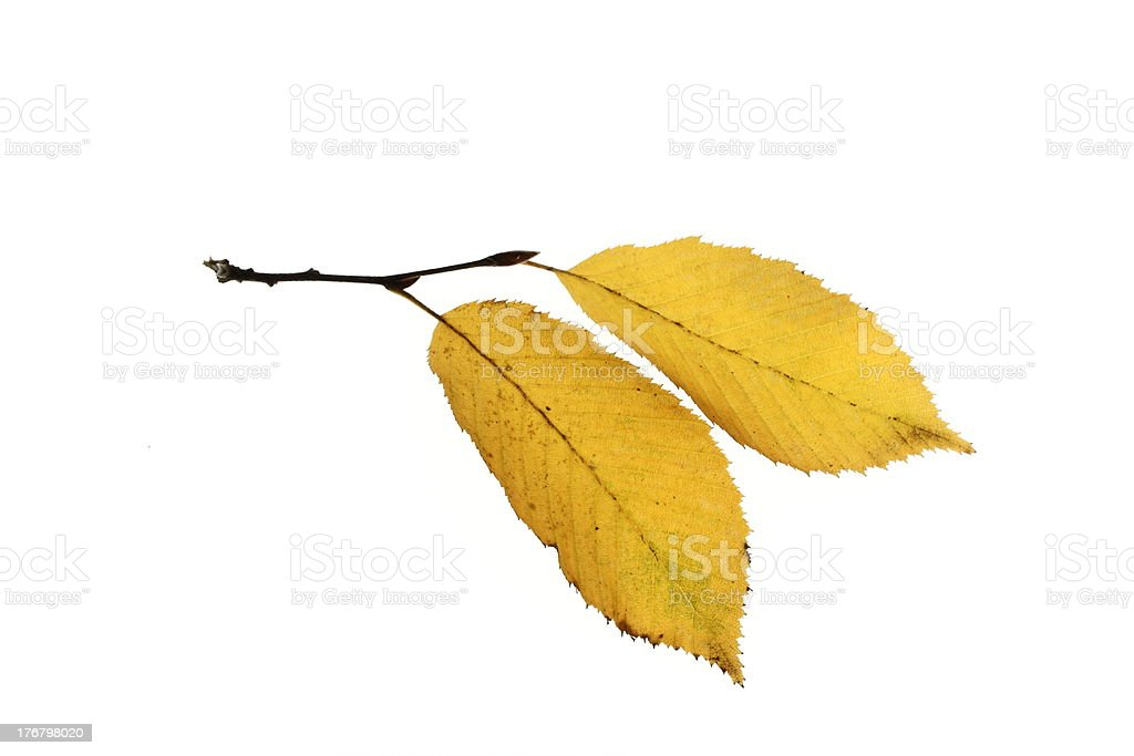Autumnal leaves of elm stock photo