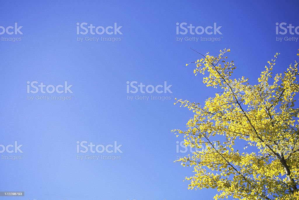 Autumnal leaves of ginkgo royalty-free stock photo