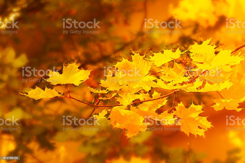 Autumnal maple branch on golden fall background stock photo