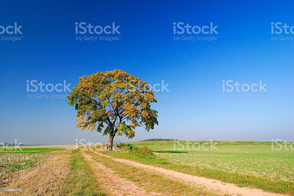 Autumnal Maple Tree II royalty-free stock photo