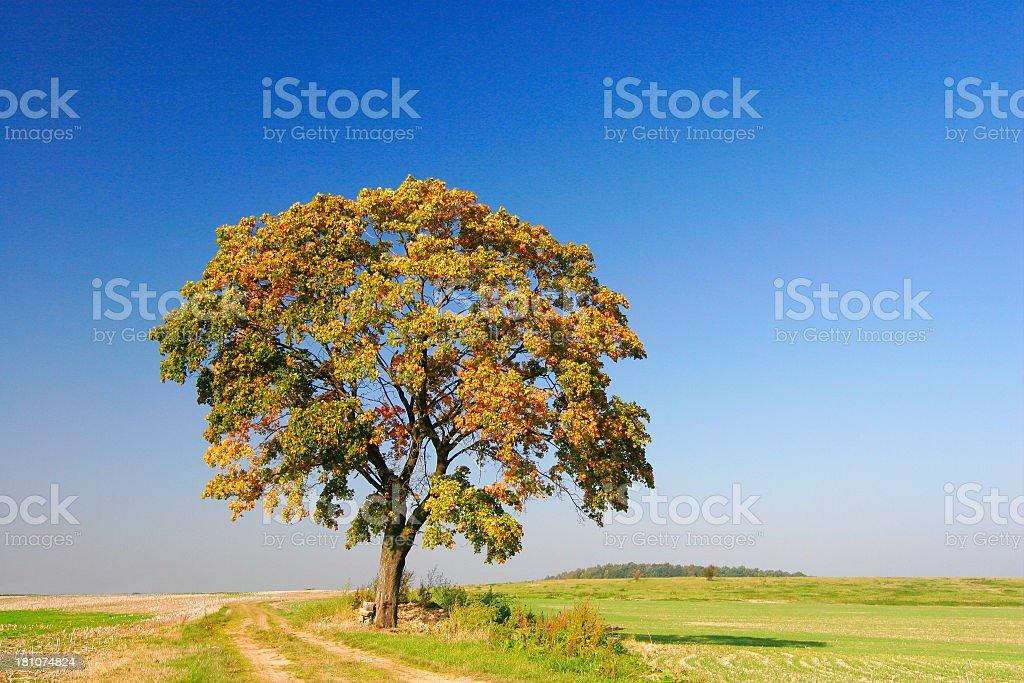 Autumnal Maple Tree III royalty-free stock photo