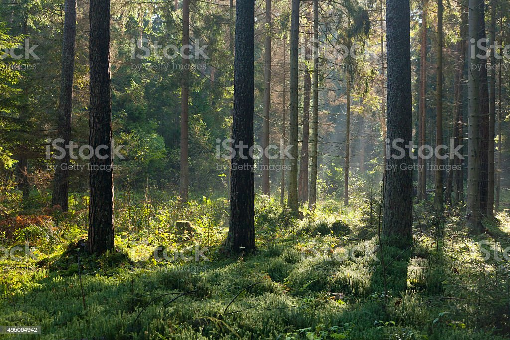 Autumnal morning with sunbeams entering forest stock photo
