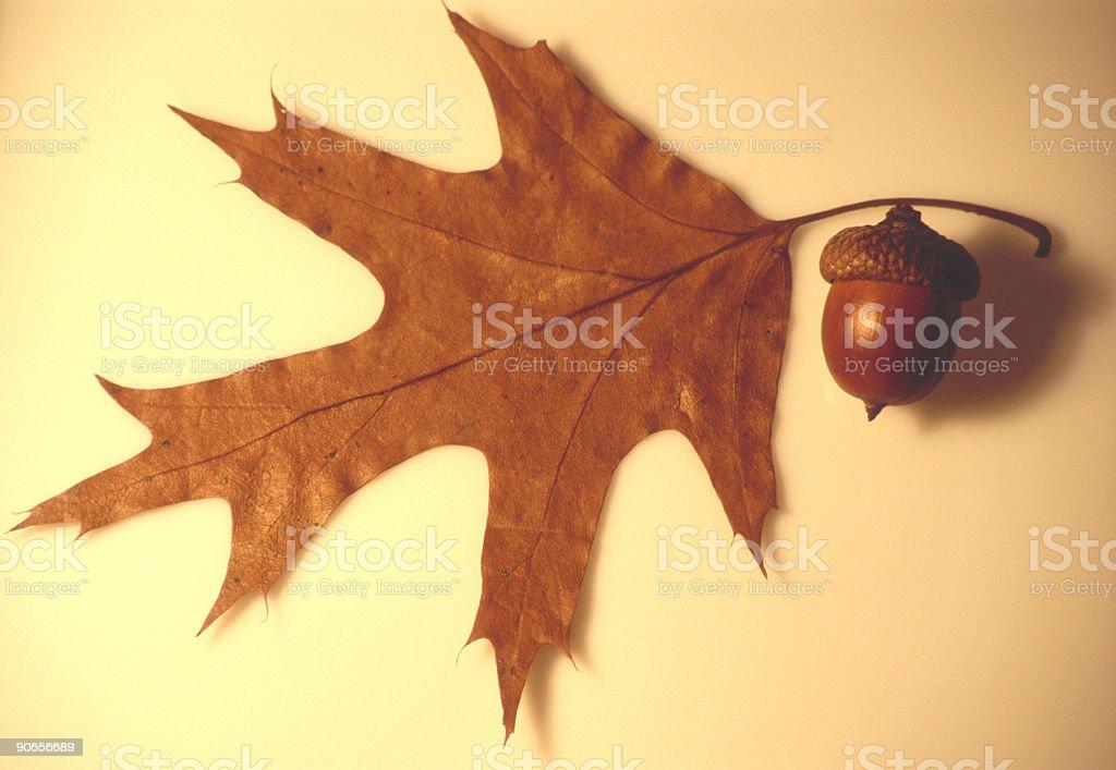 Autumnal oak leaf and acorn royalty-free stock photo