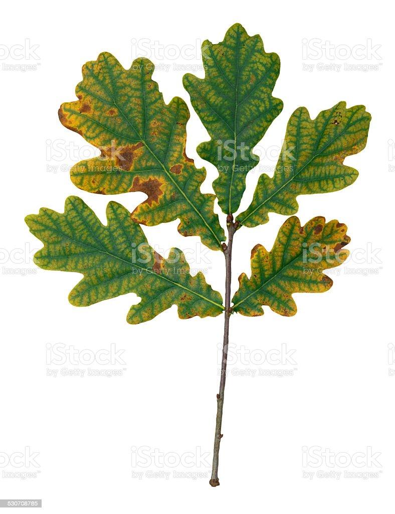 Autumnal oak leaf royalty-free stock photo