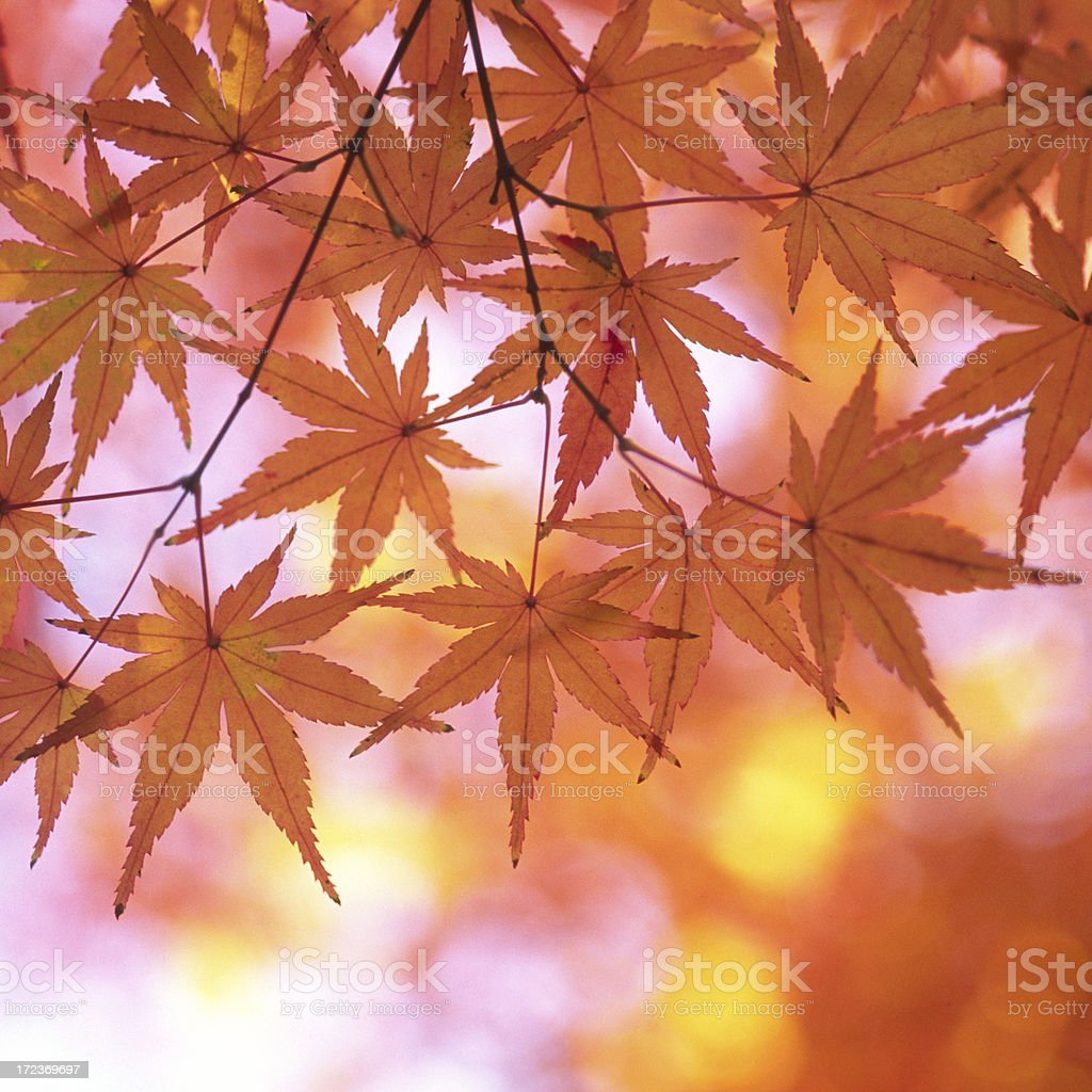 Autumnal orange leaves stock photo
