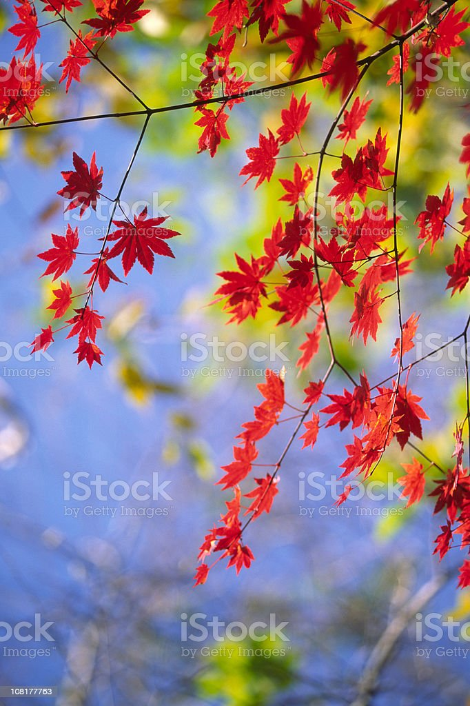 Autumnal red leaves royalty-free stock photo