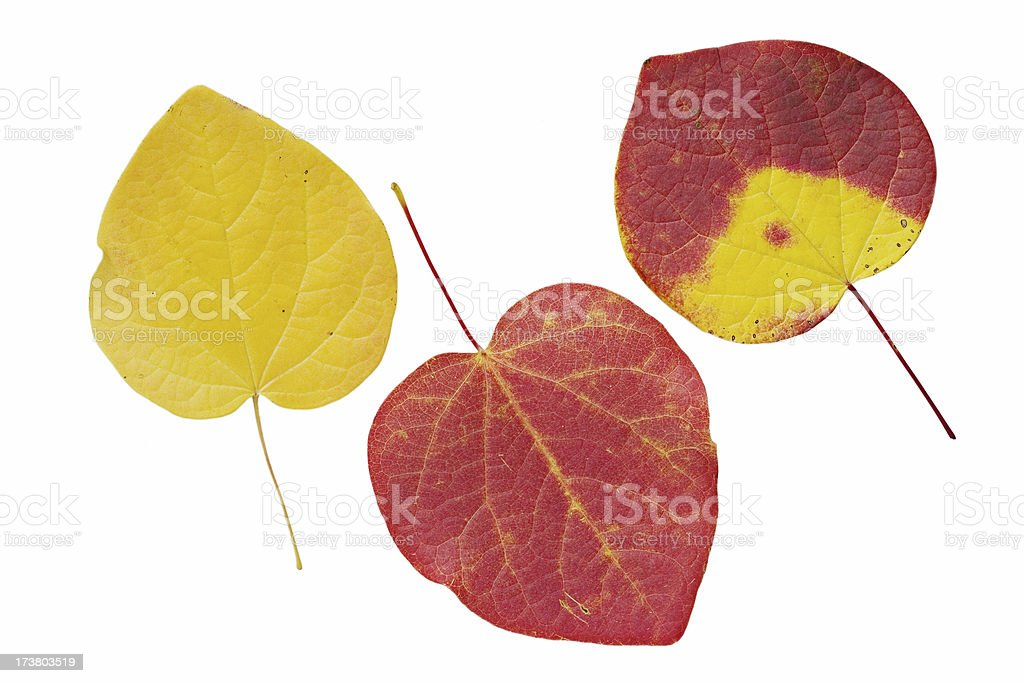 Autumnal rhododendron leaves royalty-free stock photo