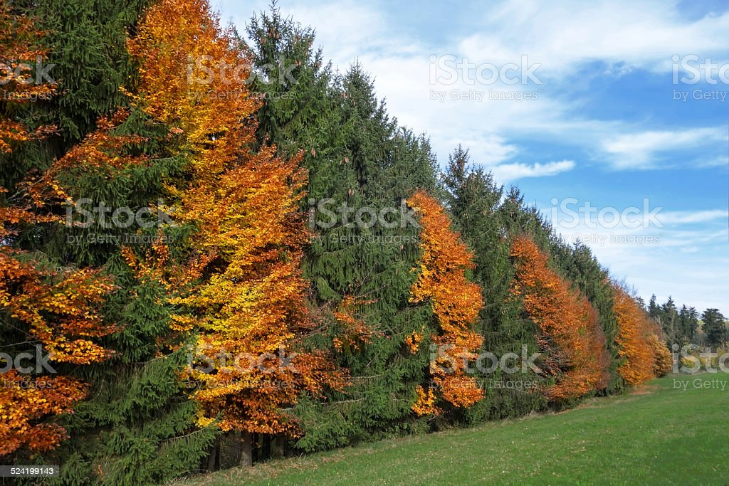 Autumnal row of trees at the edge of the forest royalty-free stock photo