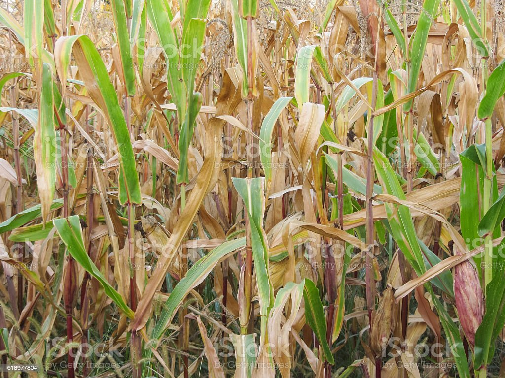 autumnal view on a corn field stock photo