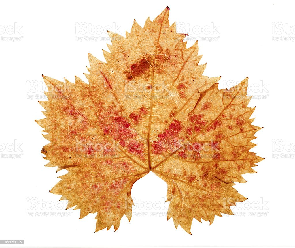 Autumnal Vine Leaf Isolated On White stock photo