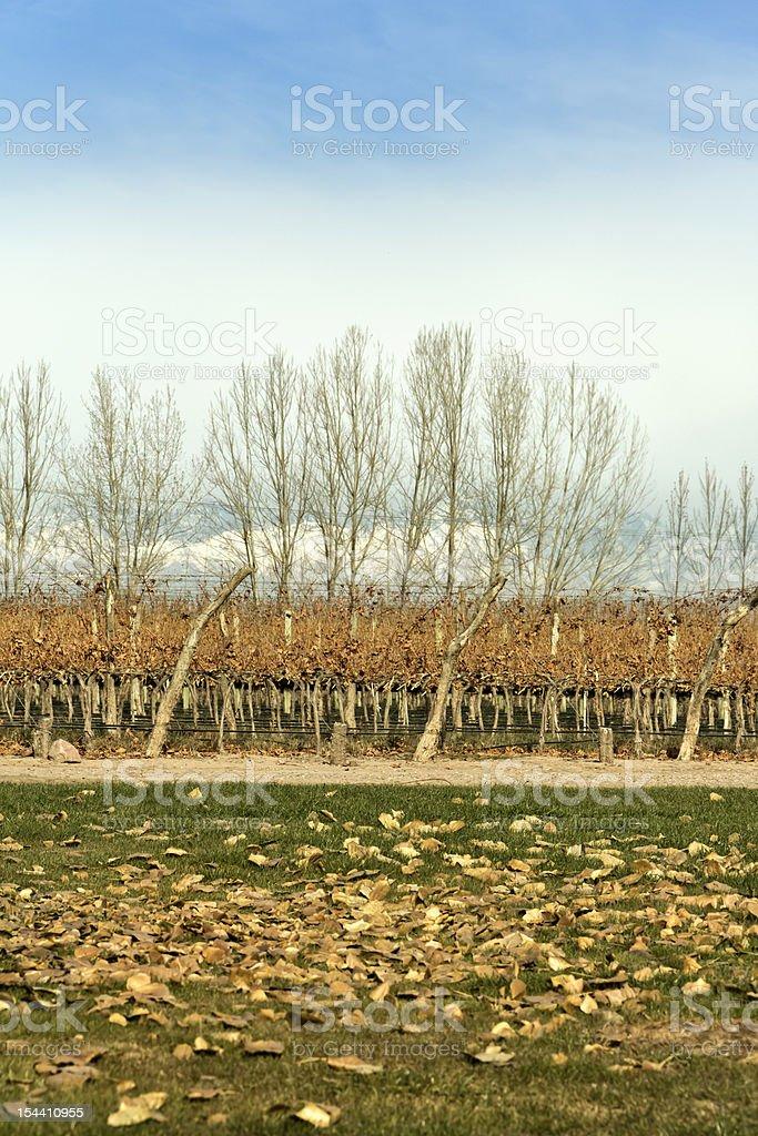 Autumnal vineyard royalty-free stock photo
