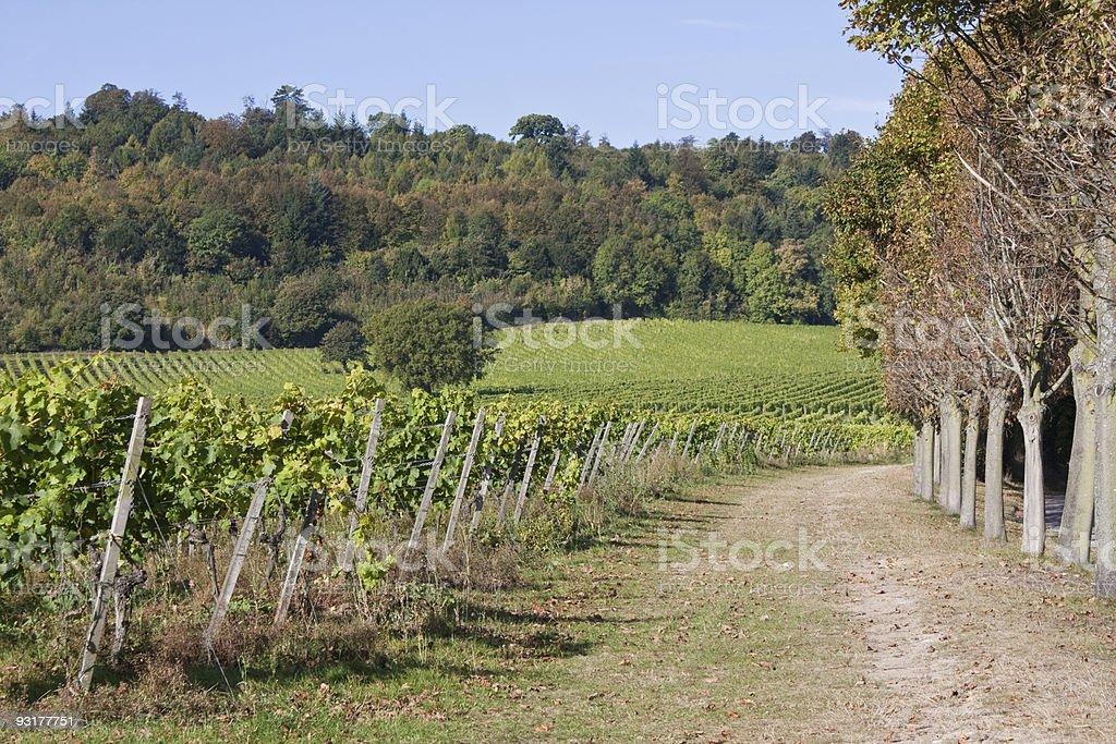 Autumnal Vineyard stock photo
