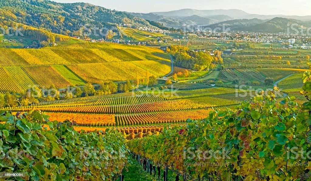 autumnal vineyards in the Black Forest stock photo