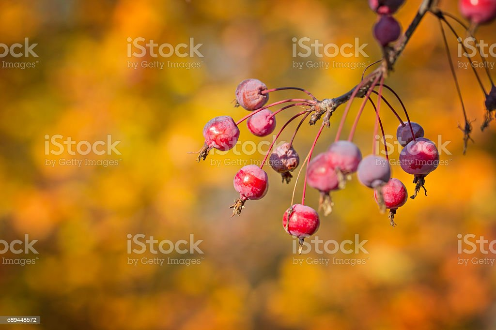 Autumnal wild apples stock photo