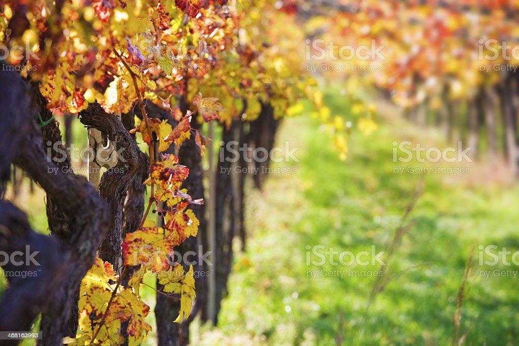 Autumnal Wineyards stock photo