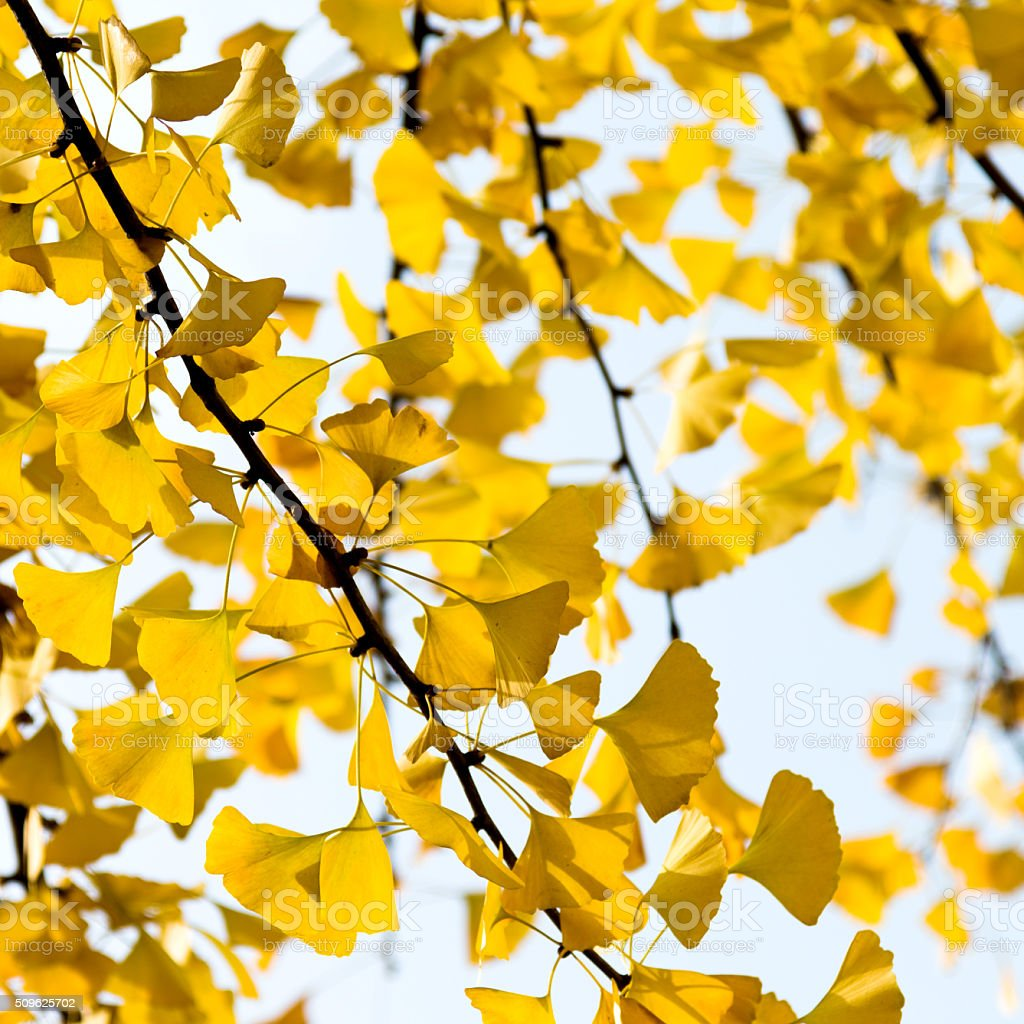 Autumnal yellow ginkgo leaves stock photo