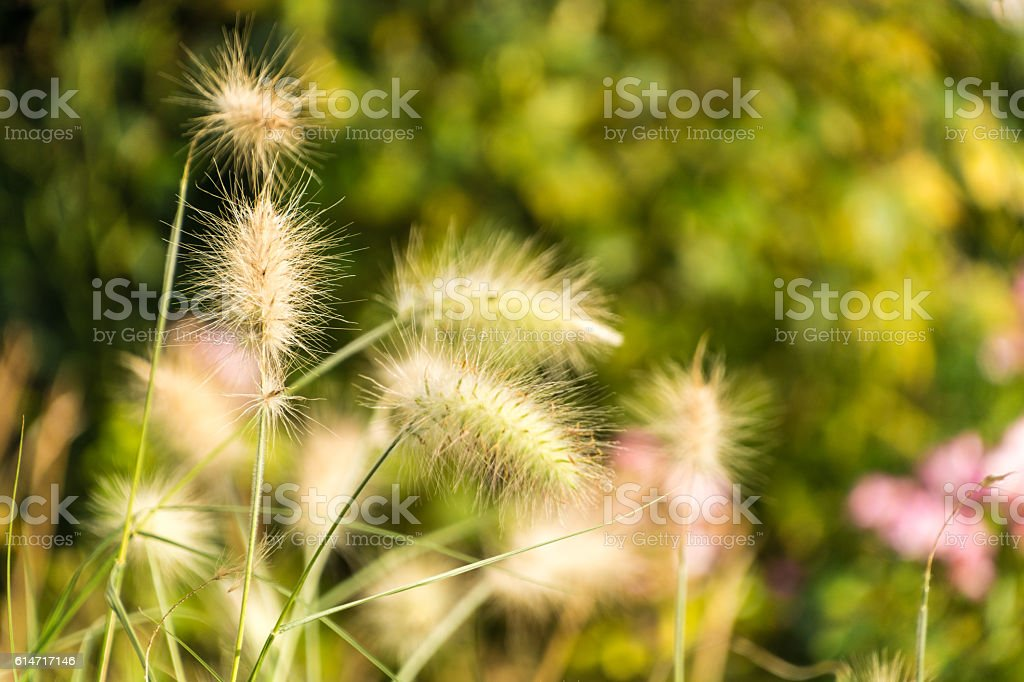 Autumn/Fall Fluffy Seed Pod stock photo