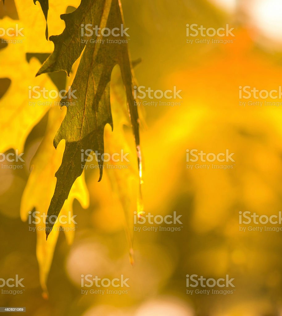 Autumn's golden leaves royalty-free stock photo