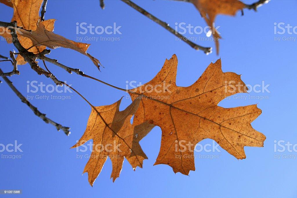 Autumn's Last Leaves: Golden Oak against Blue Sky royalty-free stock photo