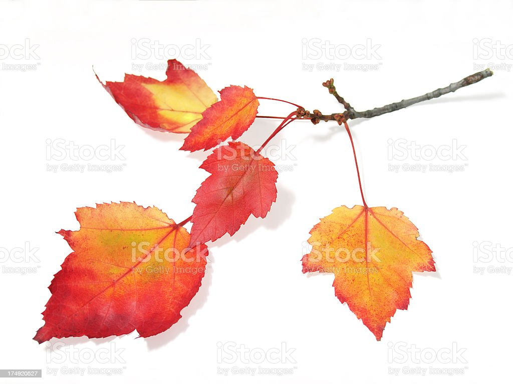 autunmal maple leaves on branch royalty-free stock photo