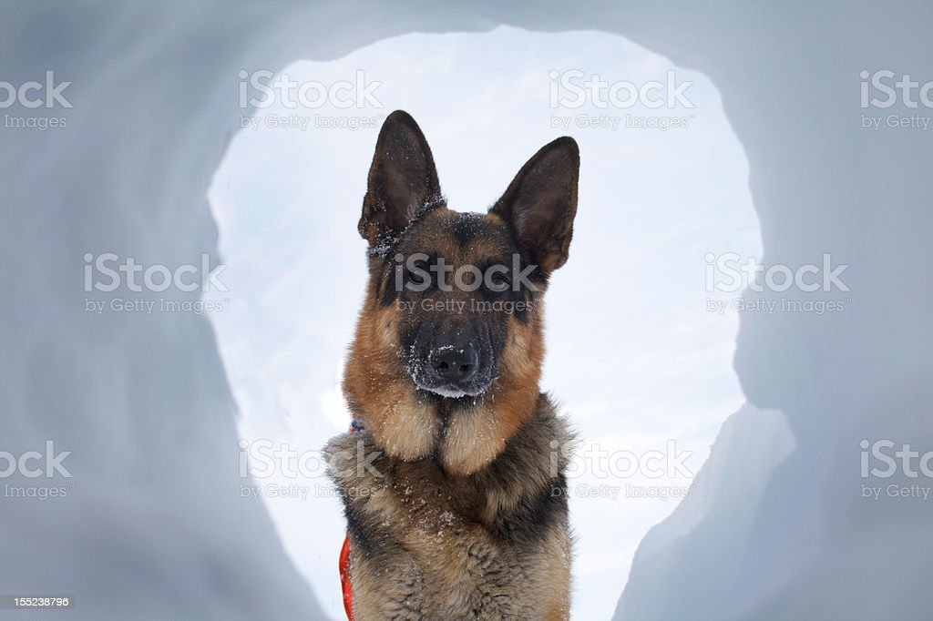 Avalanche Rescue Dog A Most Welcome SIght stock photo