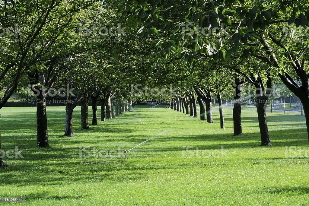 Avenue Esplanade of Cherry Trees in Spring Garden royalty-free stock photo