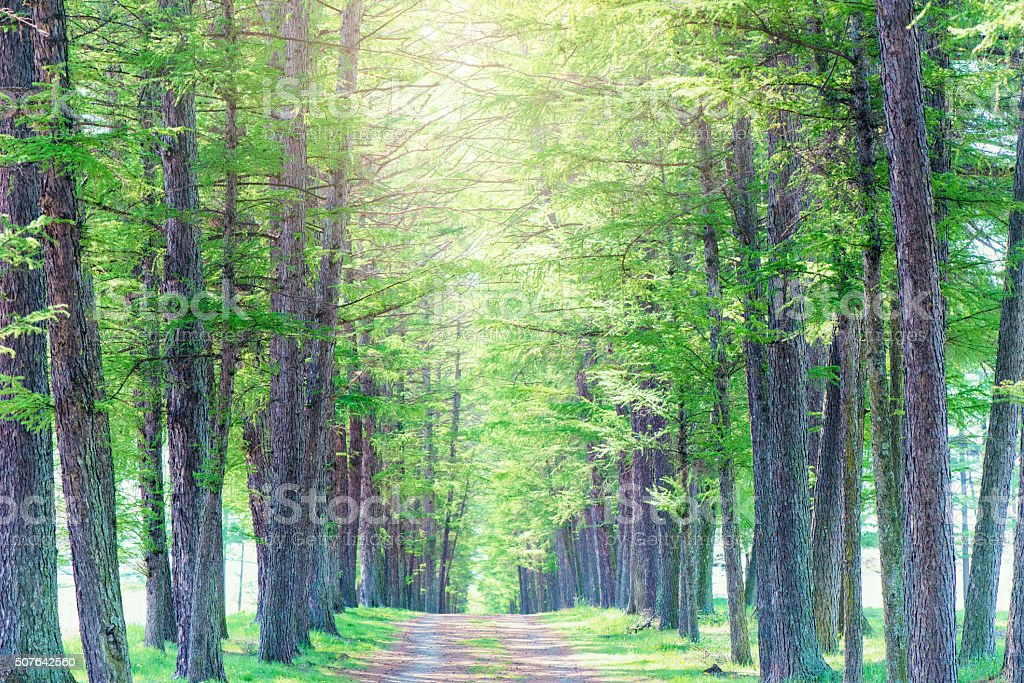 Avenue of a larch stock photo