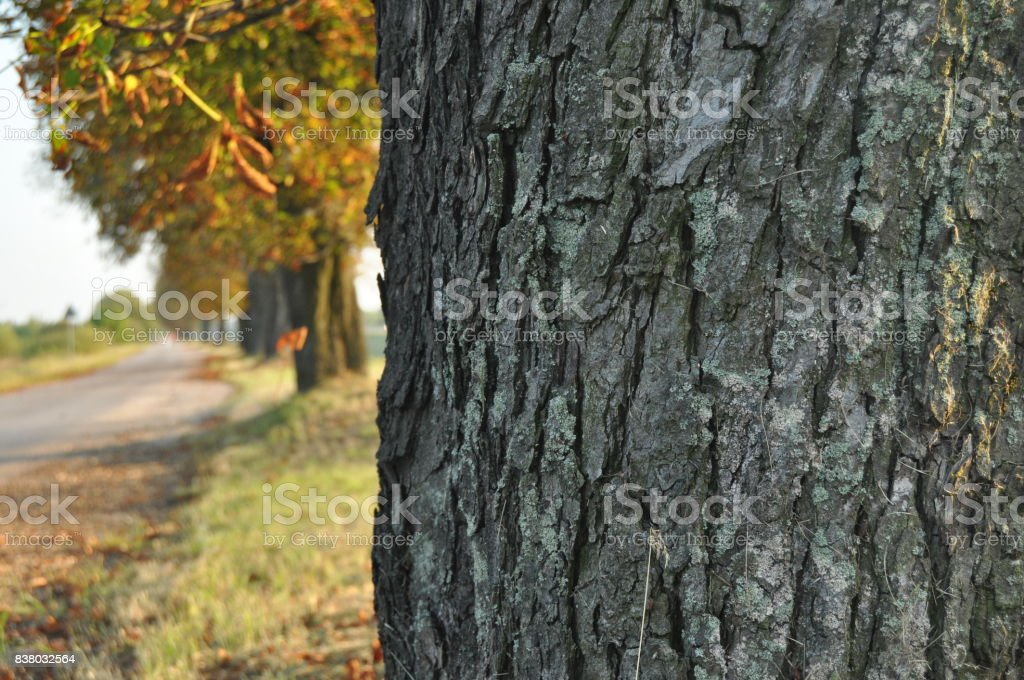 Avenue of chestnut trees. Chestnuts on the road. Autumn walk down the street stock photo