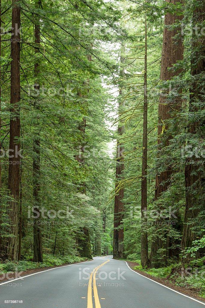 Avenue of Giants stock photo