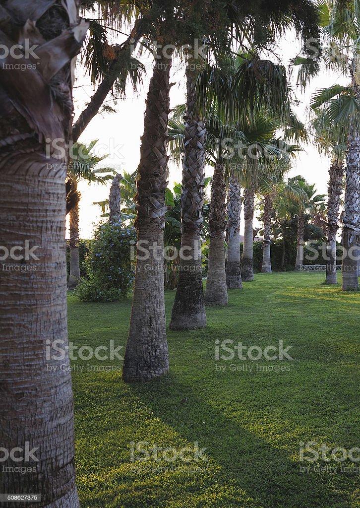 Avenida de árvores royal palm no jardim tropical foto de stock royalty-free