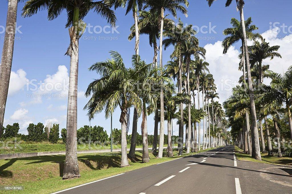 Avenue of Royal Palms on Guadaloupe stock photo