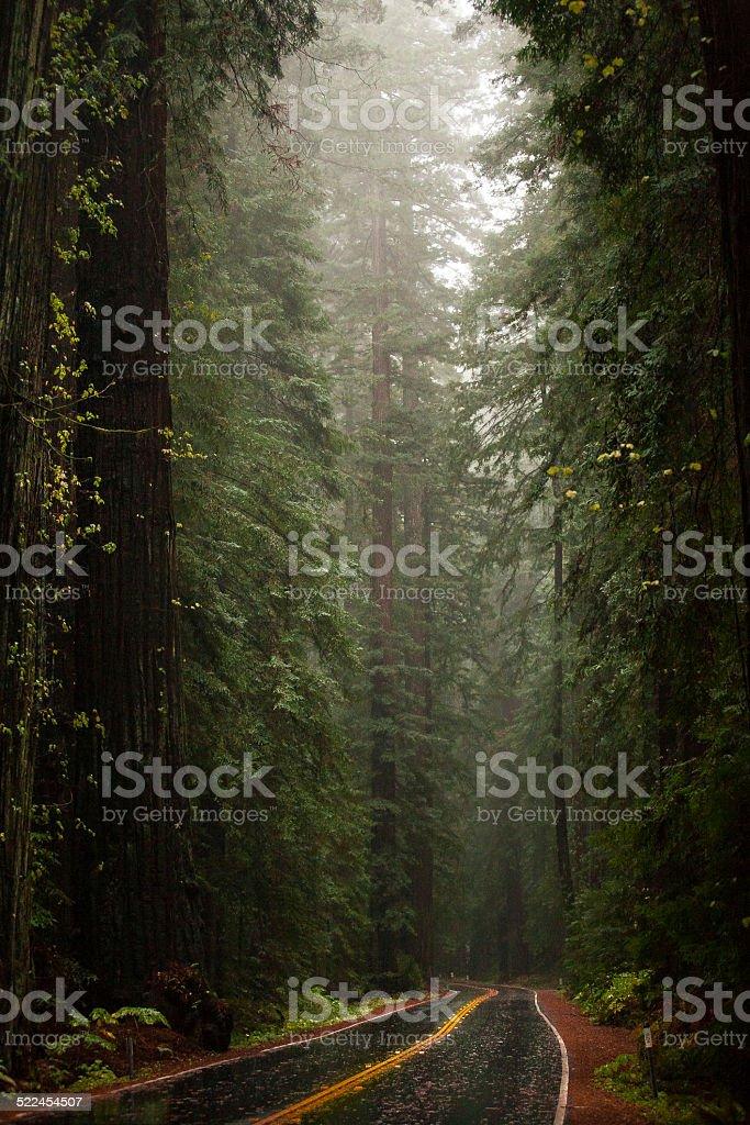 Avenue of the Giants Coastal Redwoods In The Rain stock photo