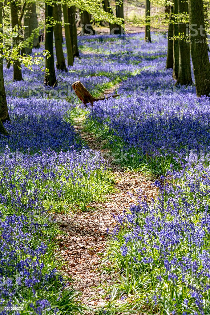 Avenue through the Bluebells - Dockey wood stock photo