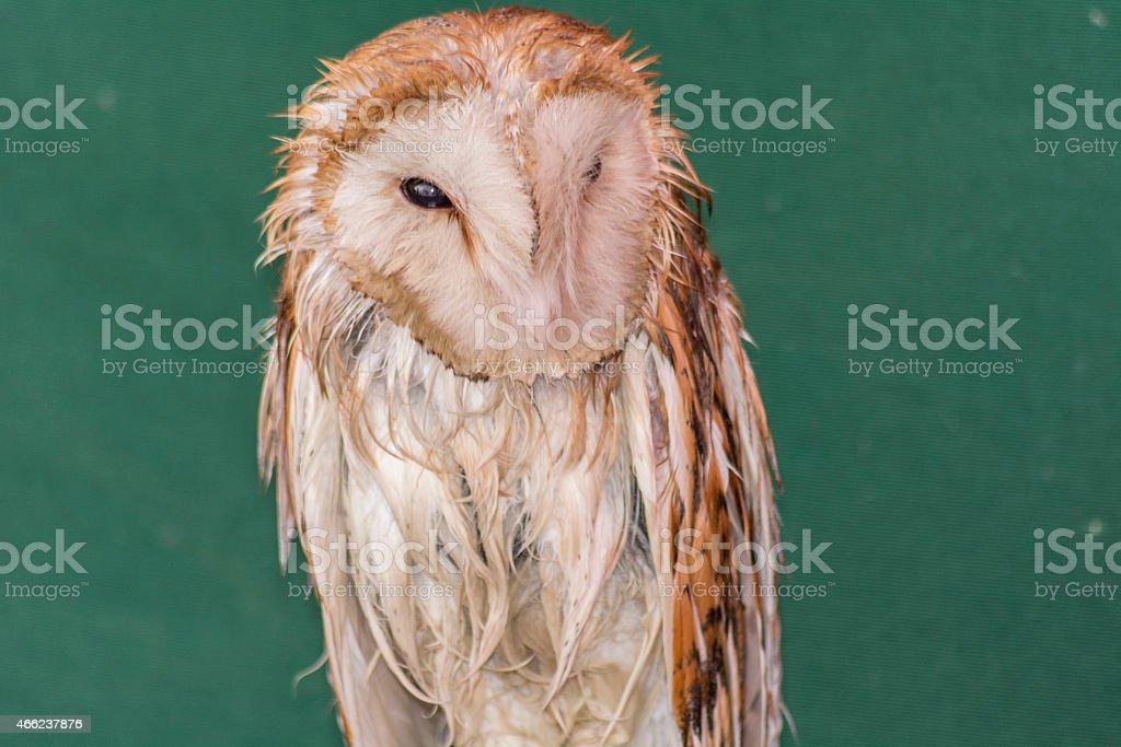 Average owl asleep stock photo