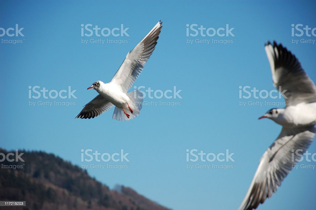 avians flying stock photo