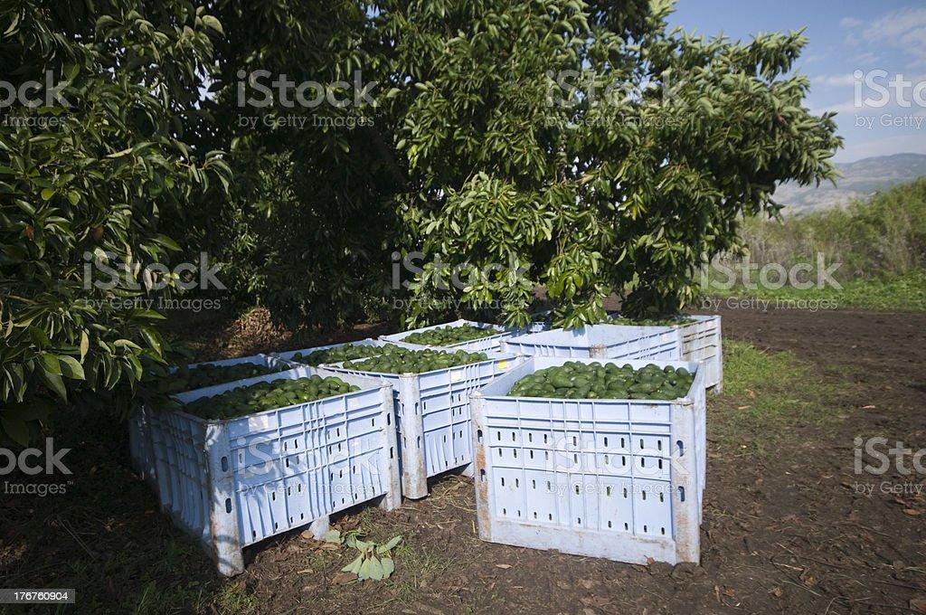 avocado harvest royalty-free stock photo