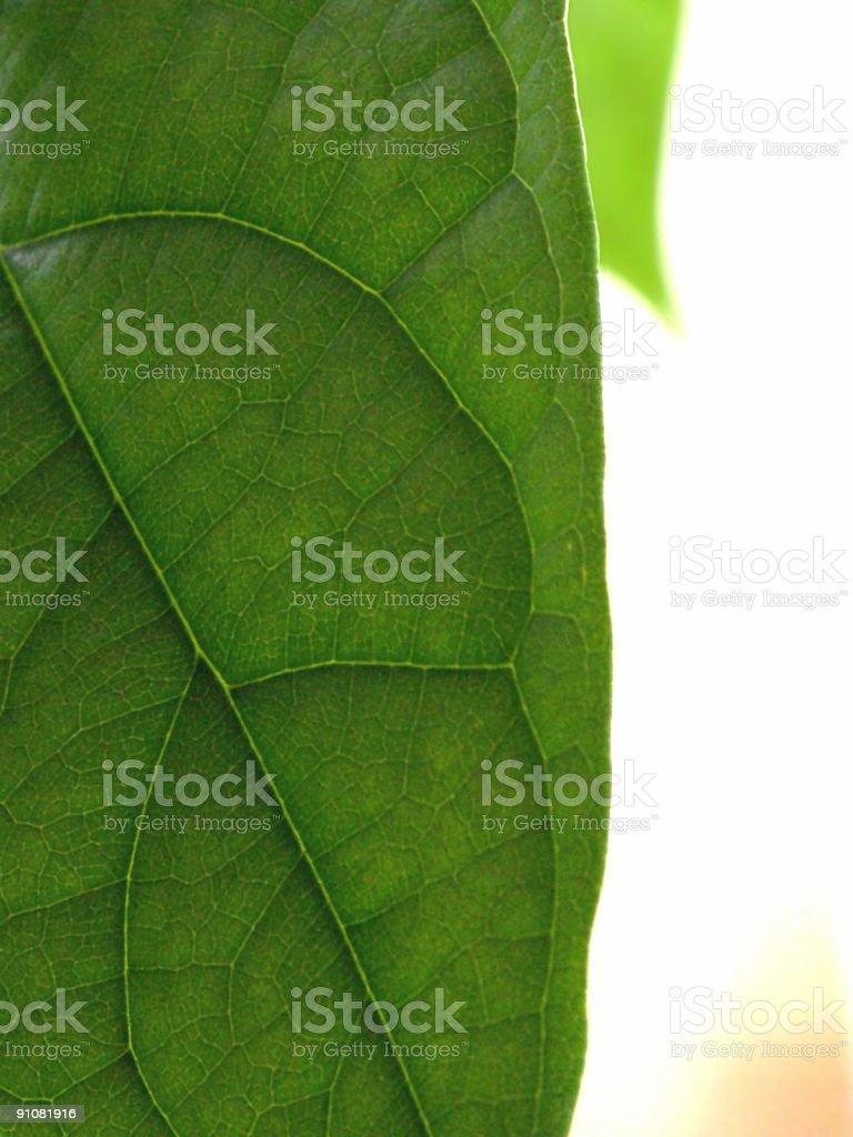 Avocado leaf royalty-free stock photo