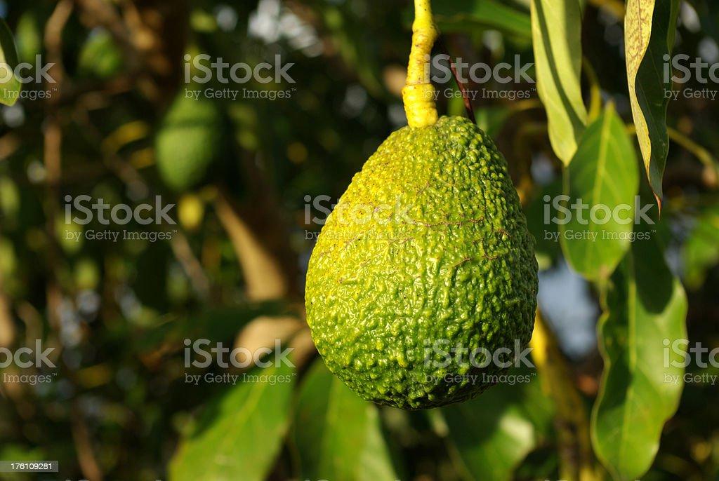 Avocado ready to be picked stock photo