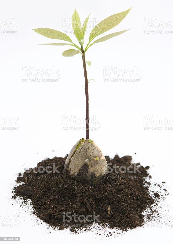 Avocado shoot royalty-free stock photo