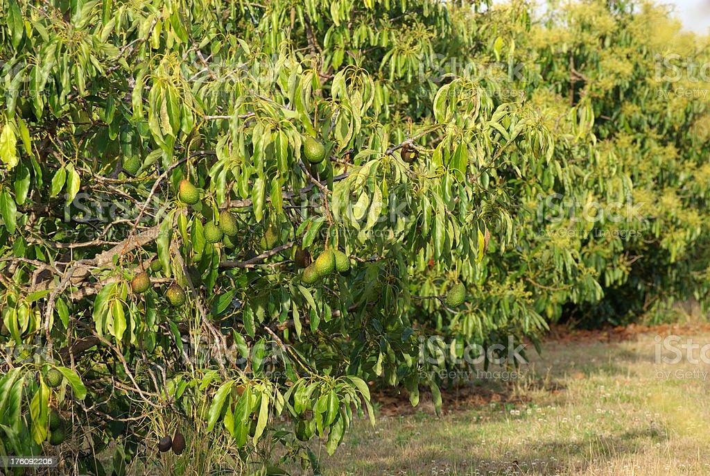 Avocado tree ready for harvest stock photo