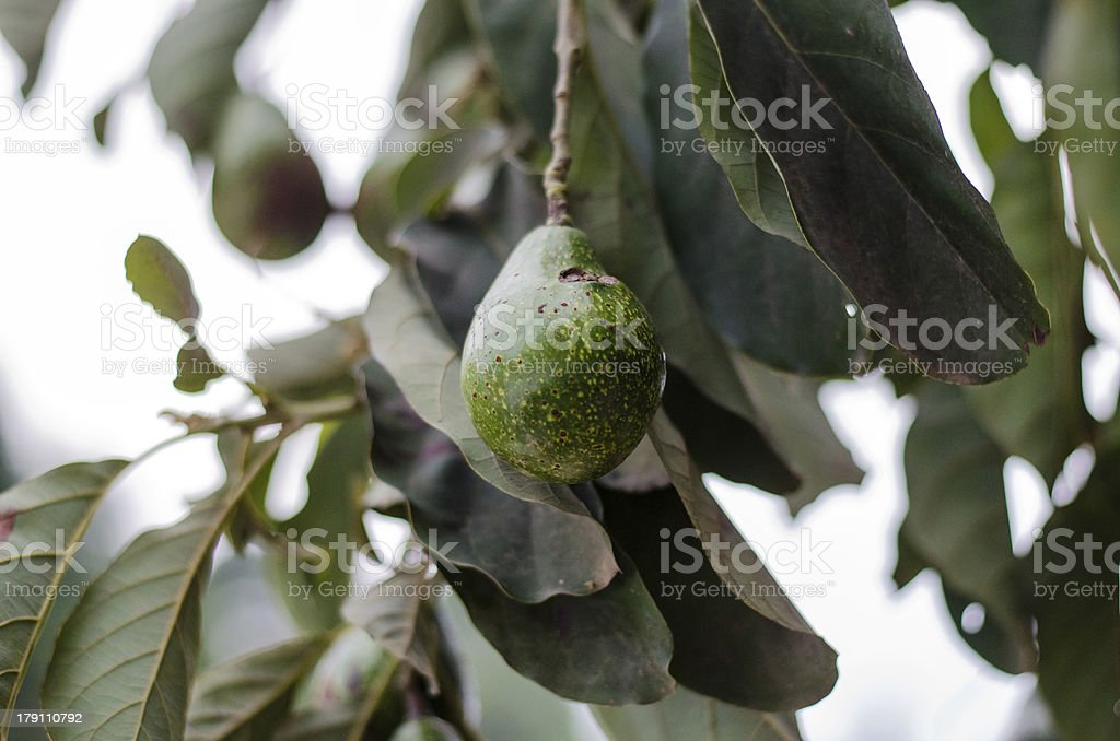 Avocados Growing royalty-free stock photo
